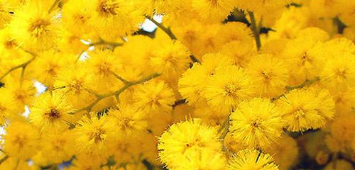 Sfumature di Mimosa