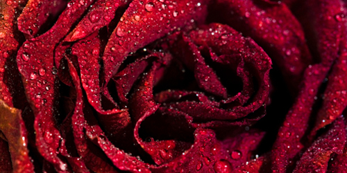 Dry red rose with waterdrops