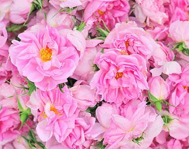 Rosa, rosae, rosam…