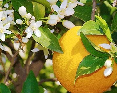 The Orangers: il Dolce, l'Amaro, il Fiore e il Petit Grain