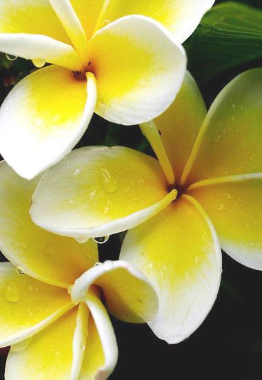 Fiori Ylang Ylang.Fascinoso Fiorito Fragrante Frangipane Extrait