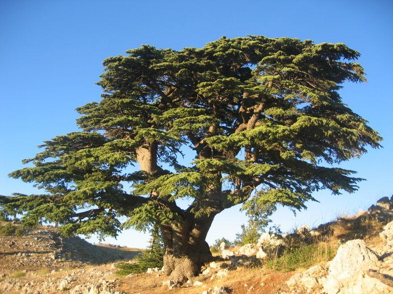 Legno di Cedro. Aroma divino di un albero nobile | Extrait