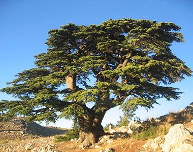 Legno di Cedro. Aroma divino di un albero nobile