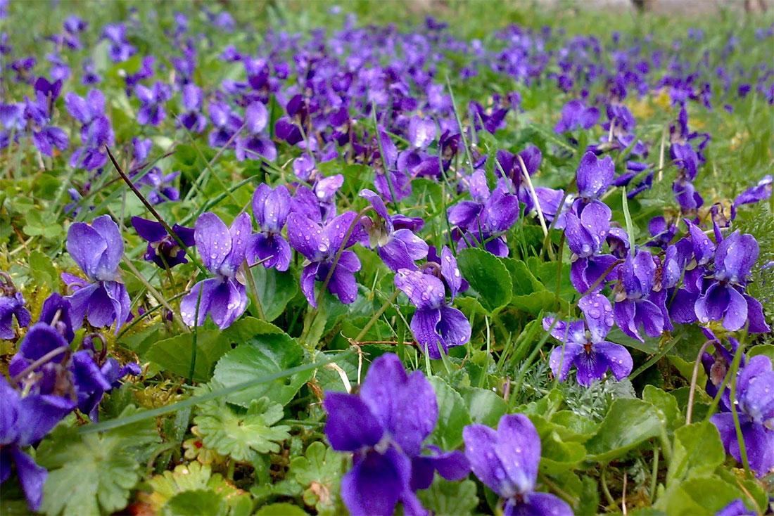 Immagini Fiori Violette.V Come Violetta Extrait