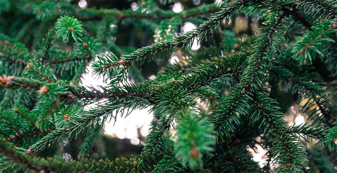 Albero Di Natale Pino O Abete.L Abete Metti Un Albero Di Natale Nel Bosco Dei Profumi Extrait