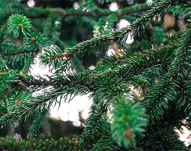 L'Abete. Metti un albero di Natale nel bosco dei profumi