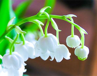 Il Mughetto, fiore innocente dall'aroma candido