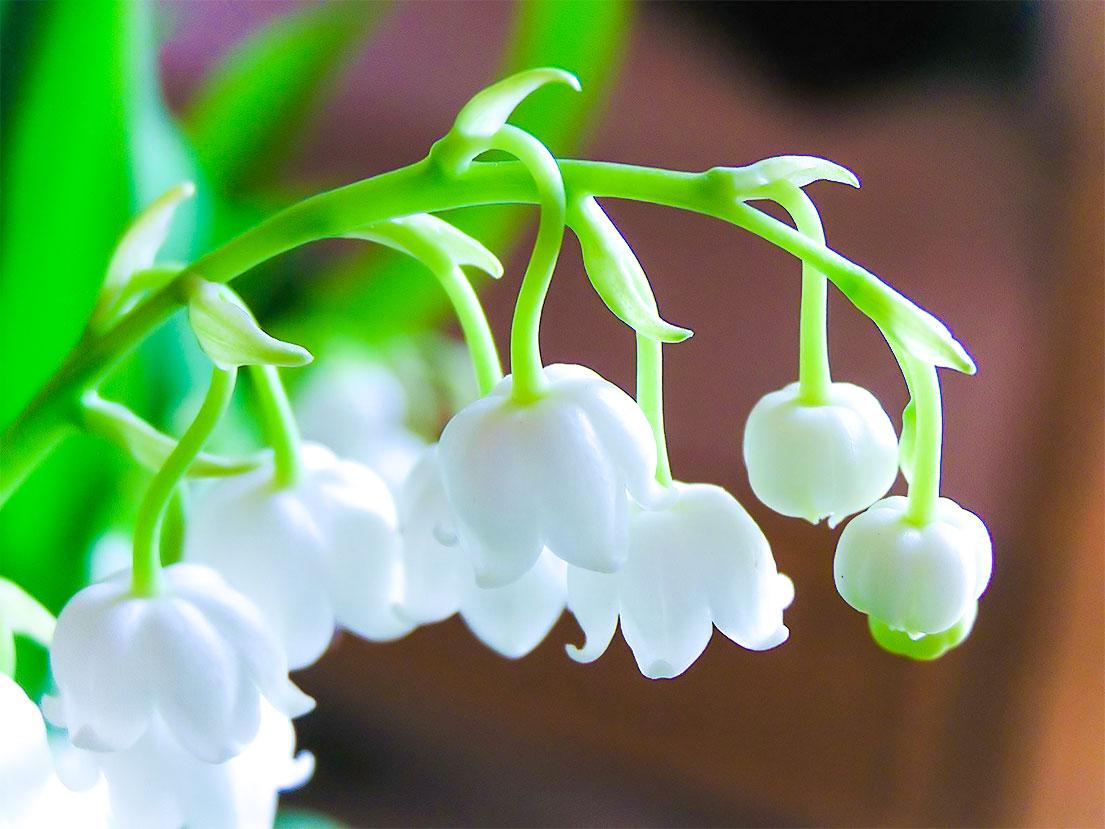 Il mughetto fiore innocente dall aroma candido extrait for Nomi di fiori bianchi