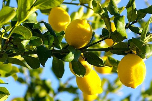 Il Limone. Il principe delle note citriche