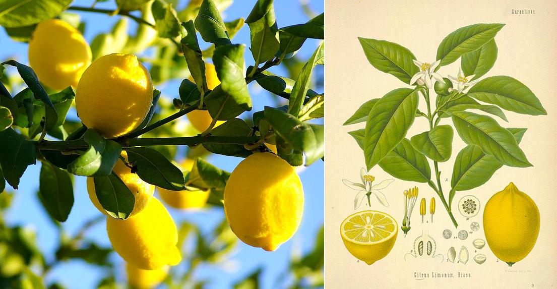 profumi al limone