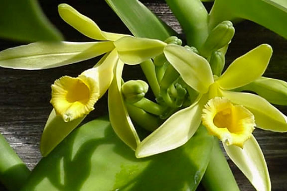 La Vaniglia. Fiore di dolcezza e sensualità
