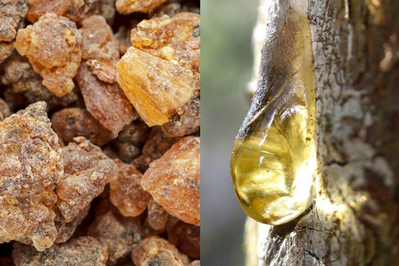 Il Benzoino. All'origine dei profumi orientali e degli odori balsamici
