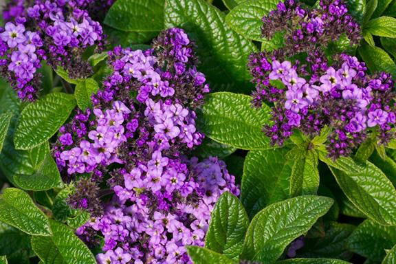 L'Eliotropio. Una fragranza gourmande in un piccolo fiore