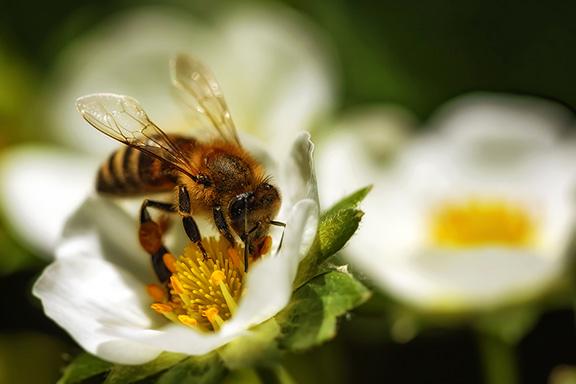Le api e i profumi: l'olfatto straordinario dei super-organismi sciame